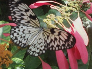 a Rice Paper butterfly